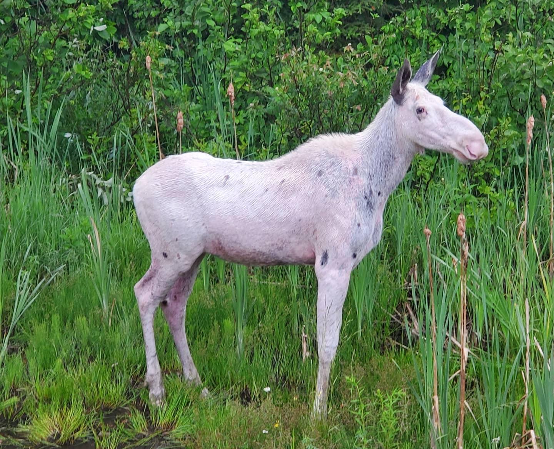 spirit moose