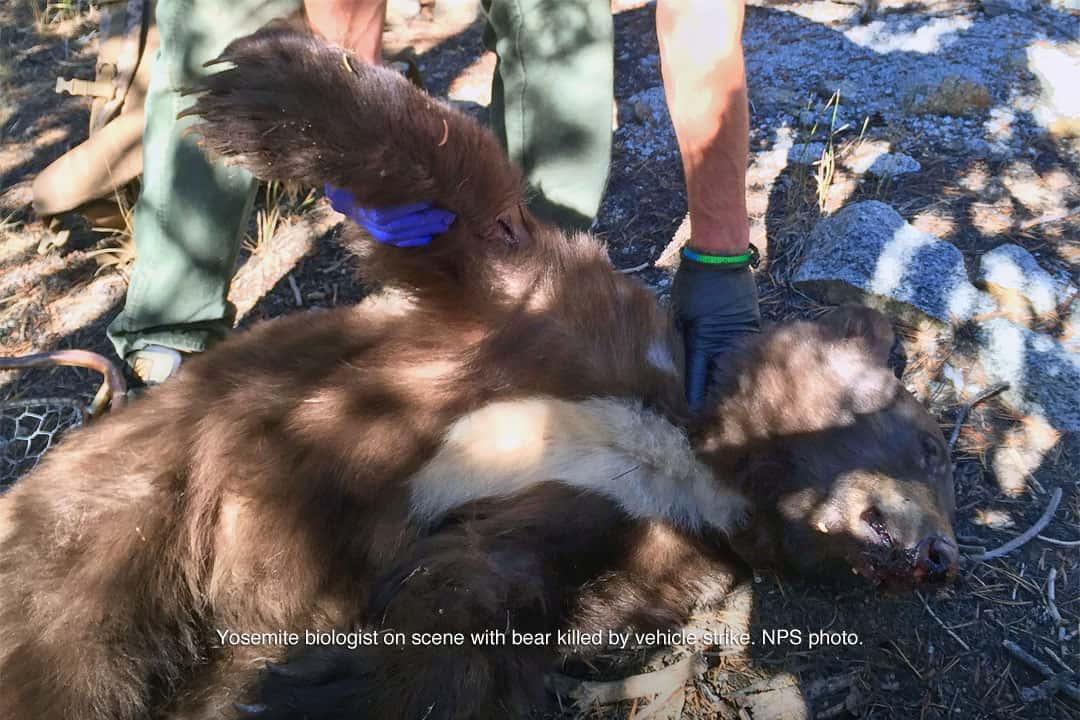 speeding, bear killed,