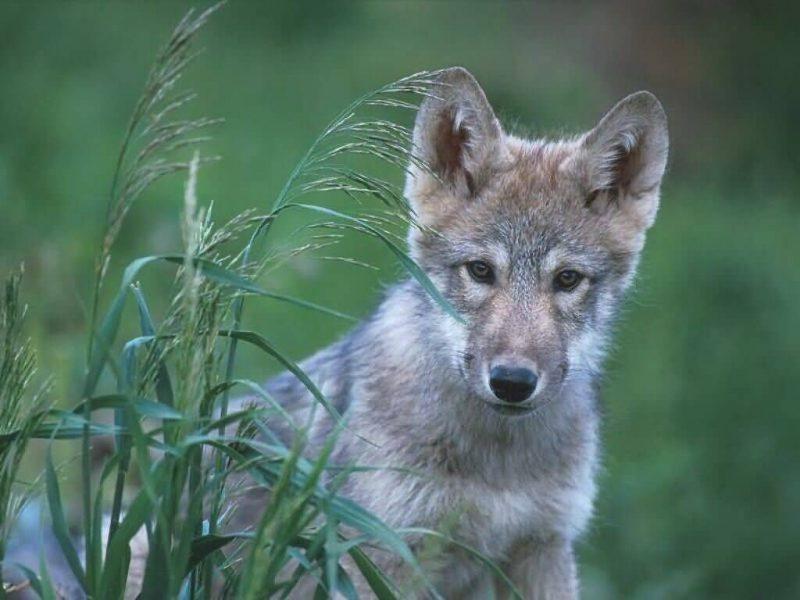 wolf Colorado
