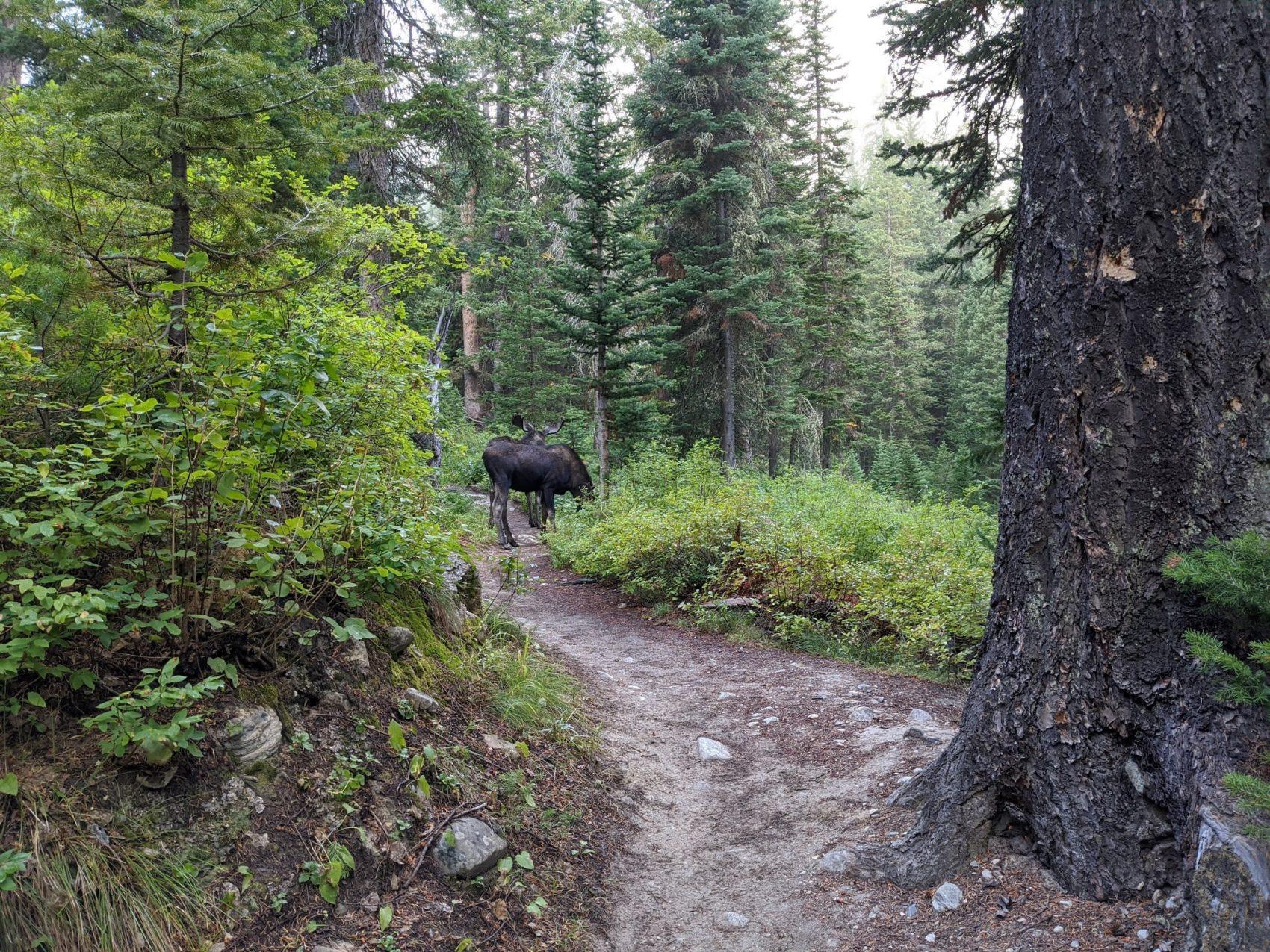 Two bull moose
