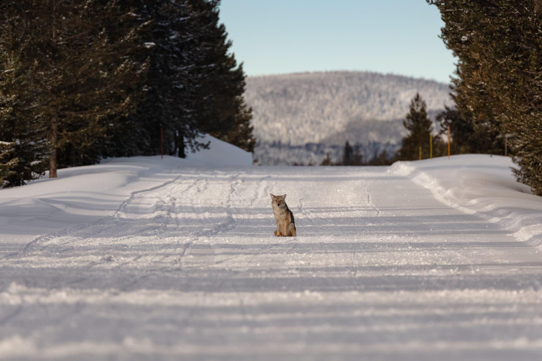 coyote, Yellowstone,