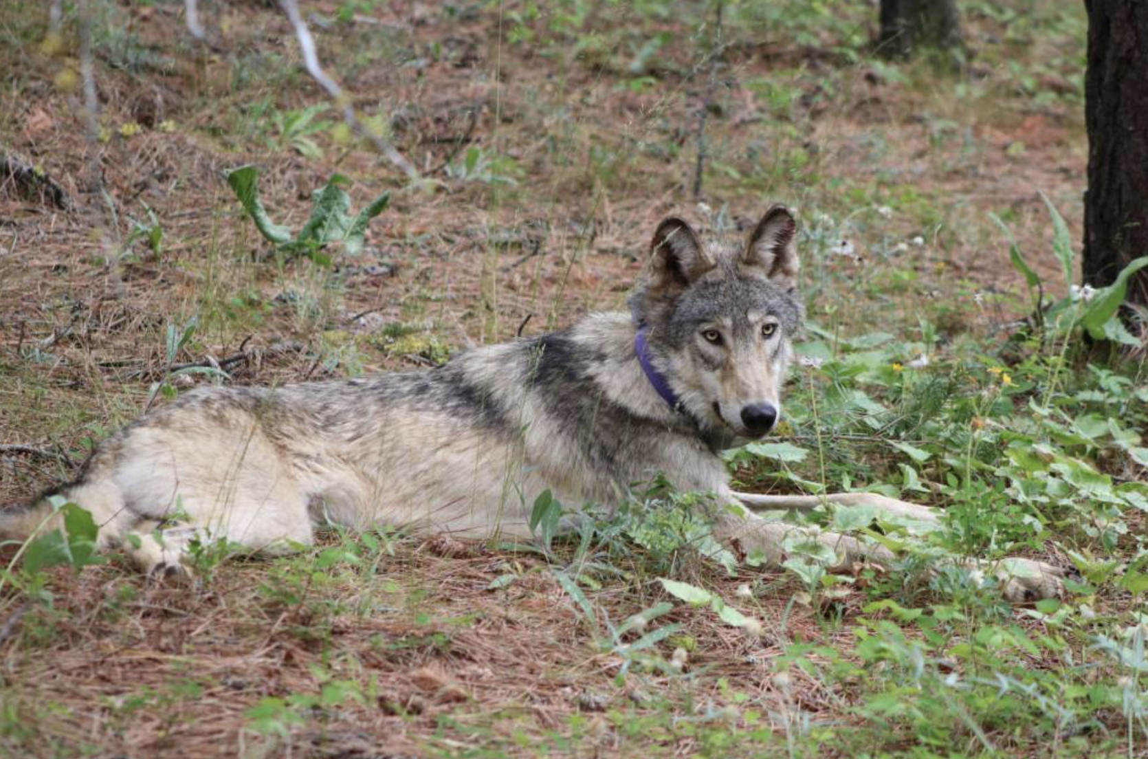 Wolf OR-93 as shown by California Department of Fish and Wildlife