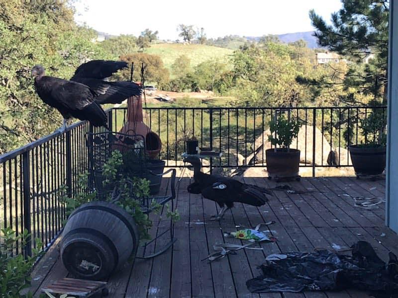 condors, California.