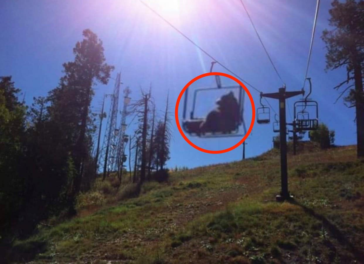 bear, chairlift, viral, vail, colorado