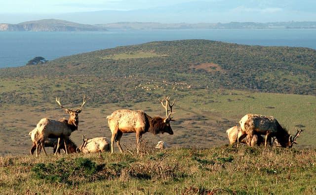 tule elk, point Reyes national seashore,