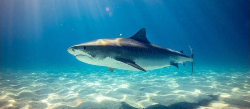 Shark off the coast of Japan