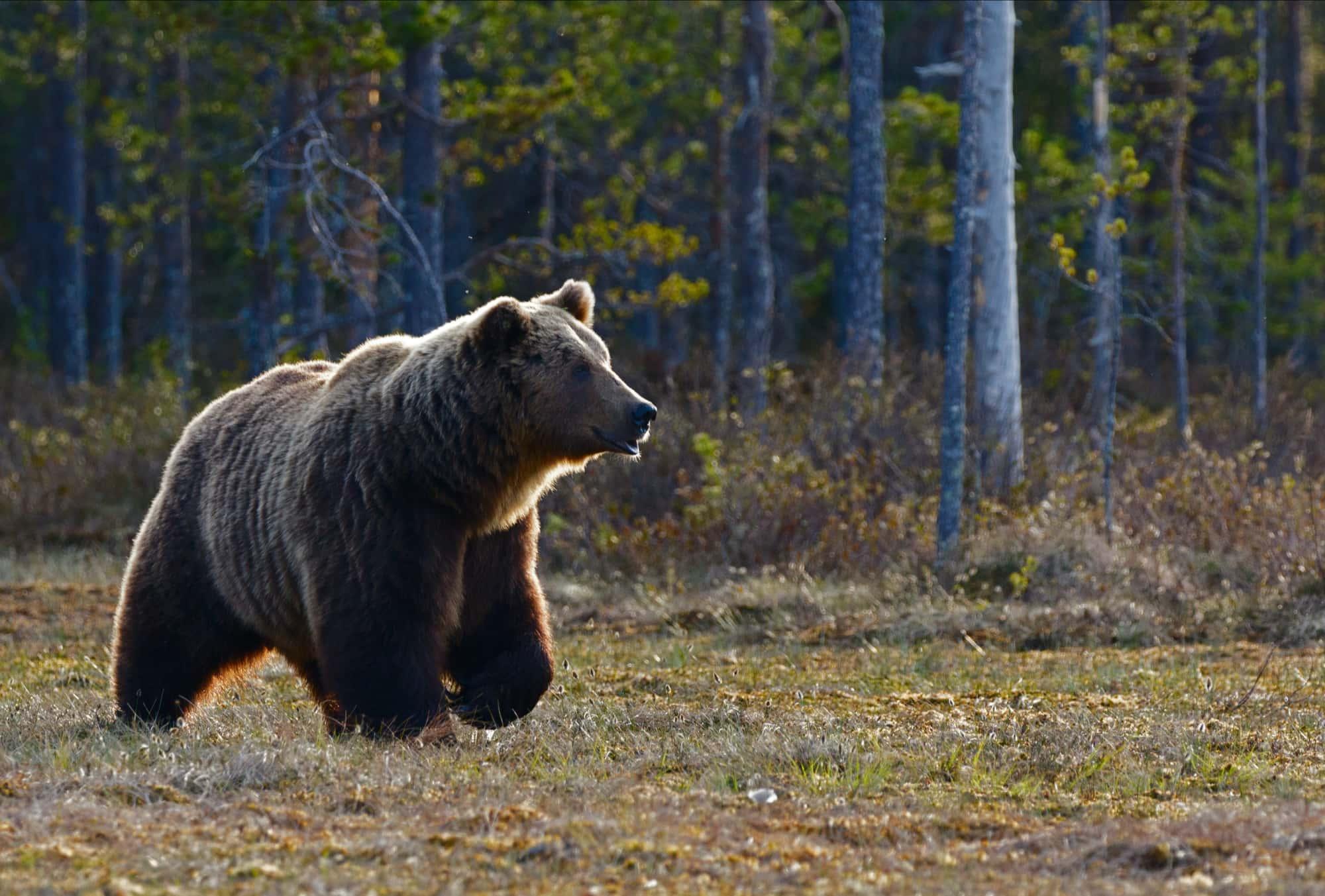 bear,