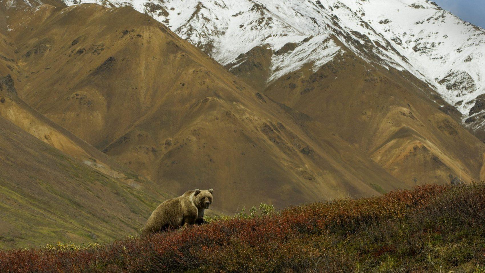 Grizzly Denali