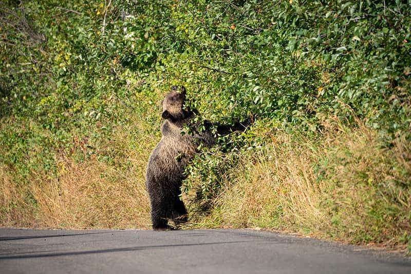 grand Teton national park, bears, road closed,